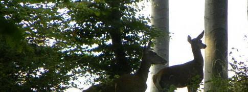 Biches dans les bois de la région picarde